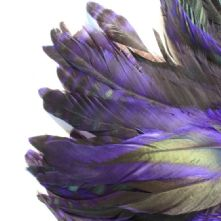Chinchilla Full Coque Purple Feathers 14-18cm Long x 5cm